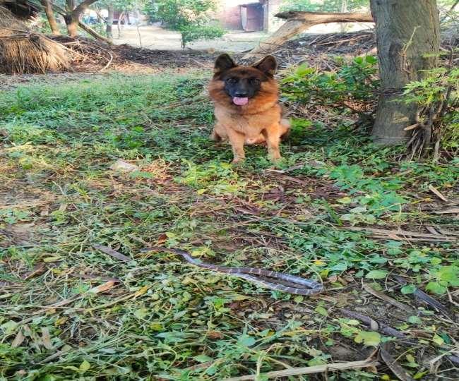 बिजनौर में सांप को मारकर कुत्ते ने बचाई मालिक की जान।