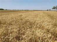 तैयार हुई रबी की फसल नहीं कटने से किसान चितित