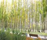 कश्मीर में 10 दिनों के भीतर सभी मादा रूसी चिनार काटने के निर्देश, संक्रमण फैला रहे