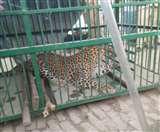 घंटों की मशक्कत के बाद पकड़ा गया तेंदुआ, रेंजर समेत आठ लोगों को किया था घायल