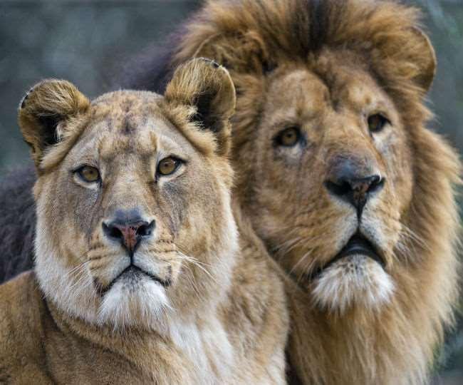 रिपोर्ट पॉजिटिव आने के बाद शेरों को किया गया आइसोलेट
