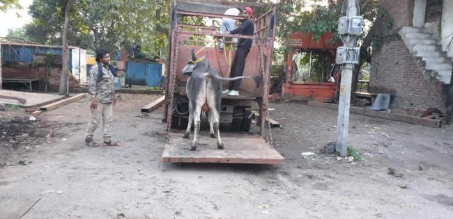 तीसरे दिन निगम के कर्मचारियों ने सनौली रोड से पकड़े आठ बेसहारा पशु