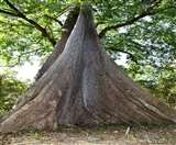 World Environment Day : नंधौर सेंचुरी में सुरक्षित हैं 200 साल पुराने चैंपियन ट्री व महावृक्ष