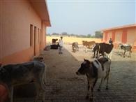 गोपाल की नगरी में ठंड से कांप रहा गोवंश