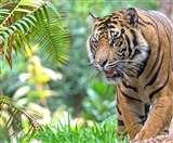 पीलीभीत टाइगर रिजर्व के एसडीओ पर झपटा बाघ, अनुभव से बचाई अपनी जान, जानिए कैसे