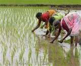 बिहार में सुखाड़ क्षेत्रों के लिए वरदान साबित होगा 'सबौर-श्री' धान का बीज, सोना उगलेंगे खेत