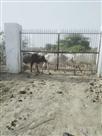 किसानों ने एक सैकड़ा मवेशियों को गोशाला में किया बंद
