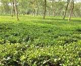चाय बागानों से संवरेगी 12 हजार किसानों की आर्थिकी, जानिए कैसे