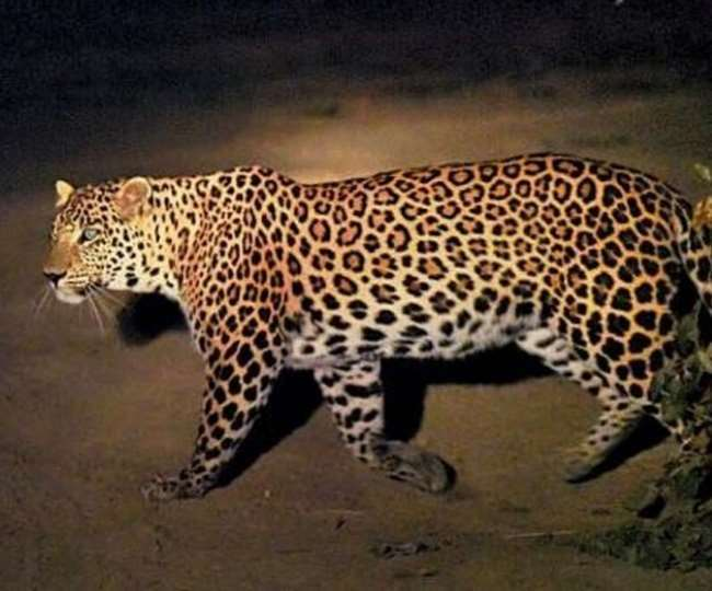 Wildlife activity increased in cold leopard spotted in Malihabad area of  Lucknow Jagran Special