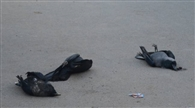 पिजन पॉक्स के बाद बर्ड फ्लू का खतरा, कोकर में सड़कों पर कई कौवे मरे मिले, दहशत