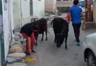 गोशाला की गायों को खिलाया मीठा चावल