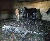 तीन महिलाओं को घायल कर गोशाला में जा घुसा तेंदुआ, बैलों ने मार गिराया Sirmaur News