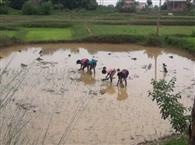 बॉटम : बारिश के बाद खेतों में शुरु हुई धान की रोपनी