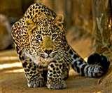मासूम को मार डालने वाला तेंदुआ नरभक्षी घोषित, शिकारियों से किया गया संपर्क