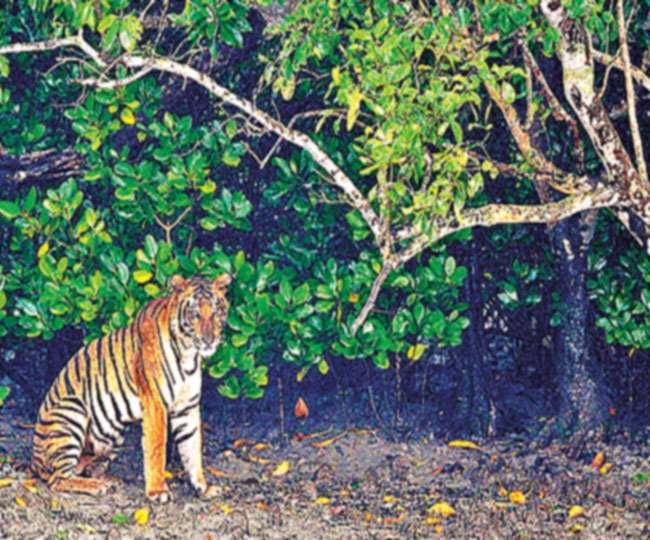 बाघों को इस वन का रक्षक भी कहा जाता है।