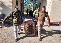 एक सप्ताह में वन विभाग ने पकड़े 3000 बंदर