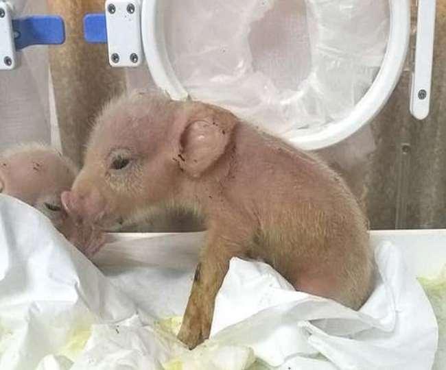जानिए दुनिया के किस हिस्से में वैज्ञानिकों ने पैदा किया पहला बंदर-सुअर, तस्वीर देखकर हैरान रह जाएंगे