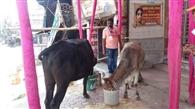 मवेशियों के लिए हर दिन दाना-पानी उपलब्ध करा रहे पार्षद