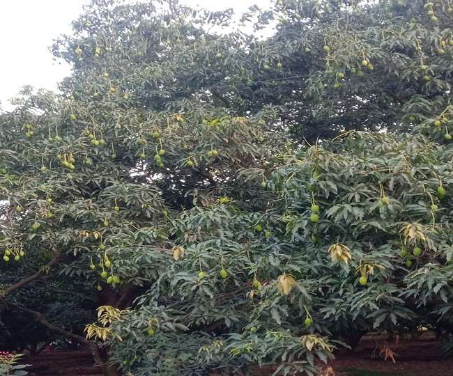 दिन प्रतिदिन बदलता मौसम इस फसल के लिए हानिकारक साबित हो गया। आधी तूफान भी बौर को नुकसान पहुंचाया।