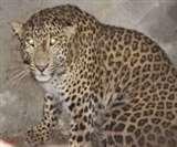 तेंदुए का ऐसा खौफ कि रातभर जानवरों की रखवाली करते रहे लोग Rampur News