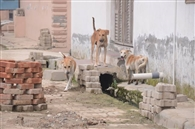तीन हजार आवारा कुत्तों को पकड़ेगी पांच कर्मचारियों की टीम