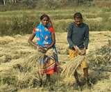 चुनावी कोलाहल से दूर 'सुनहरे' फसल की कटाई में मग्न किसानों ने कहा- किसान हित में करेंगे मतदान Dhanbad News