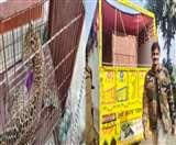 तेंदुआ पूरी तरह स्वस्थ्य, दो चिकन खाए, कड़ी सुरक्षा में राजा जी पार्क भेजा गया Muzaffarnagar News