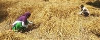क्रय केंद्र न खुलने से खेतों मे पड़ी कटी फसल