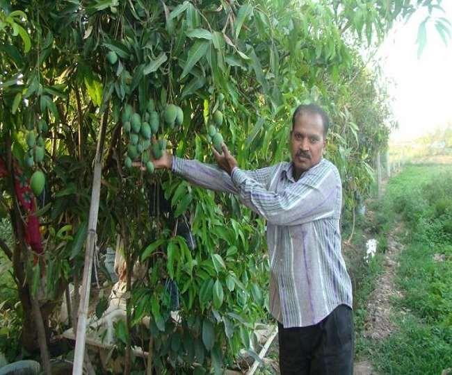 नाटा पेड़ होने के चलते यह गार्डन में लगाने के लिए उपयुक्त है। इसका स्वाद लंगड़ा आम जैसा होता है।