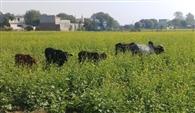 किसानों की फसल नष्ट कर रहे बेसहारा घूम रहे पशु