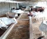 कैसे पलेंगी गायें, चारागाह की जमीन पर चरी उगाने की योजना हवा-हवाई Agra News
