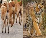 बाघों के लिए मशहूर जंगल वीटीआर में कुत्तों पर होगी नजर, लाल सांप पर भी प्रशासन का फोकस