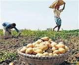 आलू के रिकार्ड उत्पादन के बावजूद यूपी के किसानों को नहीं मिल पा रहा अपेक्षित लाभ...जानिये वजह