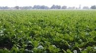 सरसों की खेती से आदिवासी किसान बढ़ा रहे आय