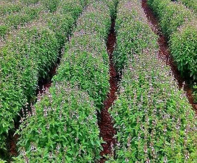 35 साल का युवा किसान बना उदाहरण, लीज की जमीन पर लहलहा रही उम्मीदों की फसल