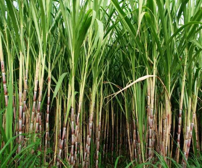 आगरा में गन्ना की खेती का रकबा बढ़ रहा है।