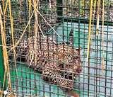 Kathua: आखिरकार पकड़ में आया आदमखोर तेंदुआ, युवक को बनाया था पहला शिकार