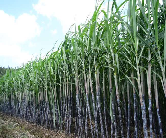 Amid expectations of further increase in sugar prices in the global market