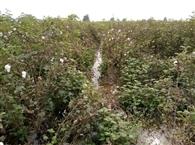 नहर टूटने से 65 एकड़ में नरमे व गेहूं की फसल डूबी