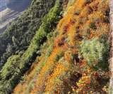 कैलास मानसरोवर यात्रा के दौरान श्रद्धालुओं ने लगाए थे फूल, अब महक रहे रास्ते NAINITAL NEWS