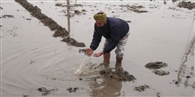 बारिश से दूसरी बार काश्त की गेहूं प्रभावित, किसानों ने मांगा मुआवजा