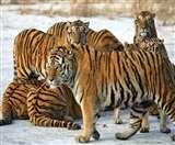 Rajasthan: रणथंभौर से शिफ्ट किए जाने वाले बाघों को किया जा रहा चिन्हित