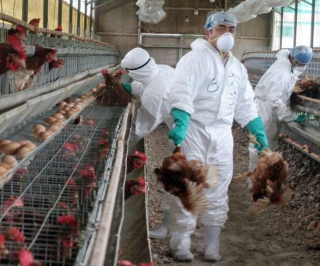 वायरस को फैलने से रोकने के लिए इसकी चपेट में आए फार्म की 77,000 मुर्गियों को मारा जाएगा।