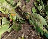 पिछले महीने लगभग 400 तोतों की जामुन के पेड़ों के नीचे अचानक मौत हो गई थी। File फोटो