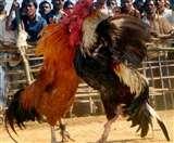 यहां मुर्गों की लड़ाई पर लगाए गए एक करोड़ रुपये, परंपरा जानकर हैरान रह जाएंगे आप