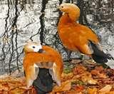 रामनगर के कोसी बैराज में नजर आया सुर्खाब का जोड़ा, उम्रभर साथ रहने वाले खूबसूरत पक्षी की जानें खास बातें