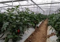 रंगीन शिमला मिर्च की खेती कर किसानों दिखाई नईं राह