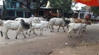 कहीं भूख से दम तोड़ रहीं तो कहीं से गायब हो गईं गाय