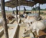 गोशाला में चारे को मोहताज गाय, भूख से तड़पकर मर गए छह गोवंश Kanpur News