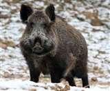 इटली में हुआ कुछ ऐसा कि जंगली सूअर खा गए लाखों की कोकीन, जानें फिर क्या हुआ